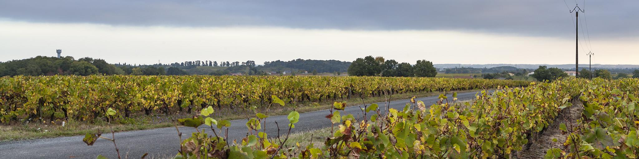 wijngaard, wijnstokken, melon de bourgogne, Haute Févrie, muscadet sur lie