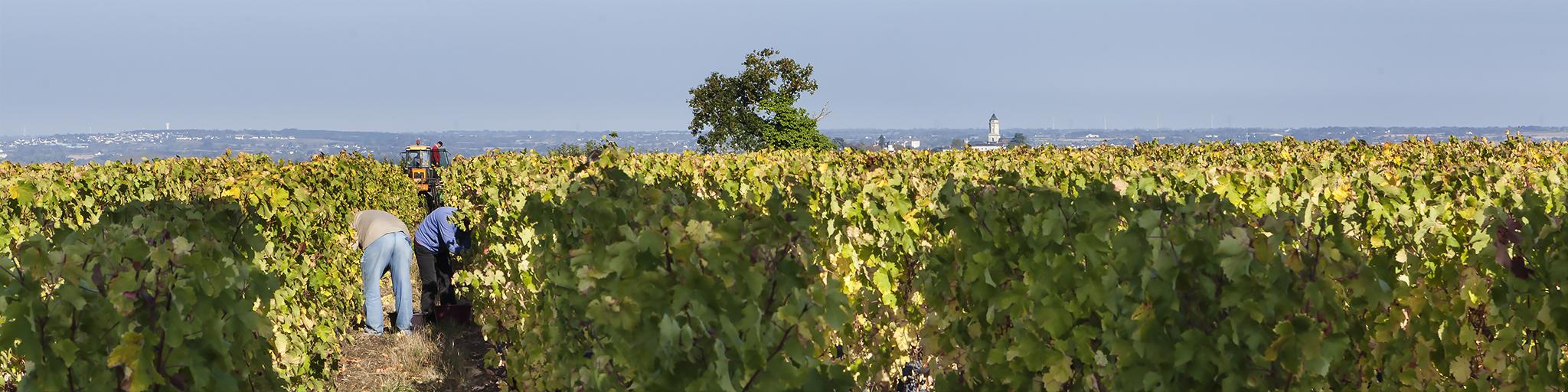 Anjou, Oogst, Vendanges, Wijnwerk, Loire wijnen, Loirewijn, wijnstreken, terroir, gamay, grolleau, vignes de l\'Alma