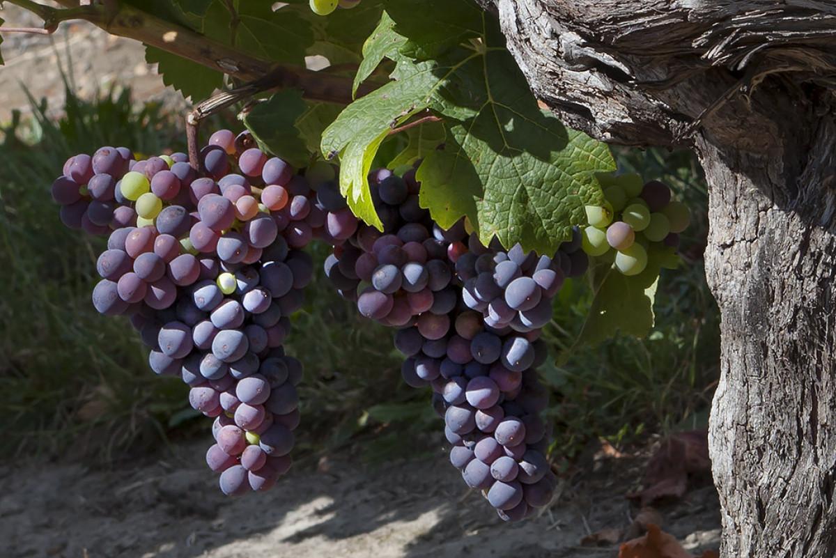 Wijnwerk, Loirewijn, Biologisch, Wijn, Proeven, Druif, wittewijn, rodewijn, rosé